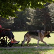 Man and disabled woman on wheelchair with alsatian dog relaxing in park — Stock Video