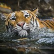 Stock Photo: Swimming Tiger