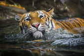 Swimming Tiger — Stock Photo