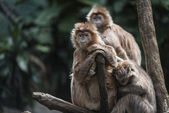 Monkey's family in the Jungle — Stock Photo