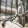 Royalty-Free Stock Photo: Lemur in the Jungle