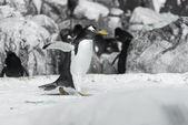 Pequeño pingüino — Foto de Stock