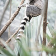 Beautiful Lemur in the Jungle - Stock Photo