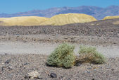 Plant in the Desert, Death Valley — Stock Photo