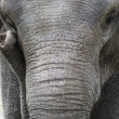 Asielephant Portrait — Stock Photo #24618693