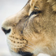 Stock Photo: Close portrait of Lion