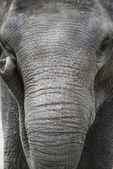 Asya fili portre — Stok fotoğraf