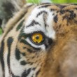 Close Portrait of beautiful Tiger — Stock Photo #30157165