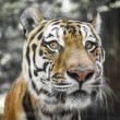 Stock Photo: Close Portrait of beautiful Tiger