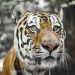 Close Portrait of beautiful Tiger — Stock Photo #30157453