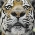 Close Portrait of beautiful Tiger — Stock Photo