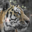 Close Portrait of beautiful Tiger — Stock Photo #30157675