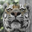 Close Portrait of beautiful Tiger — Stock Photo #30157839