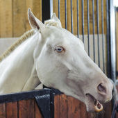 Beautiful Portrait of White Horse with Blue eyes — Stock Photo