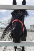 Beautiful Close Portrait of Black Horse — Stock Photo