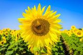 Field of sunflowers — ストック写真