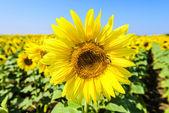 Bee on a sunflower — Stock Photo