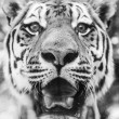 Black andd whie Portrait of beautiful Tiger — Stock Photo