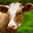 Young calf — Stock Photo #14094178