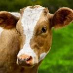Young calf — Stock Photo