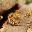 Stock Photo: Bees and beehive