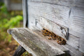 Bees and Beehive — Stock Photo