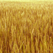 Yellow wheat. — Stock Photo