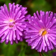 Asters — Stock Photo #15433695