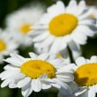 Chamomile — Stock Photo #15437887