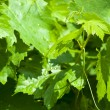 Grape vine leaves — Stock Photo