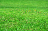 Green lawn. — Stock Photo