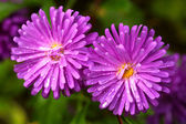 Asters — Fotografia Stock