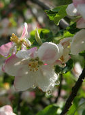 Blommor av apple — Stockfoto