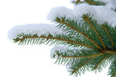 Pine — Стоковое фото