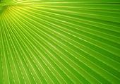 Palmiye yaprağı — Stok fotoğraf