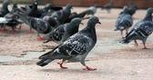Pigeons. — Stock Photo