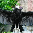 Andean condor — Stock Photo