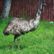 Ostrich — Stock Photo #15515549