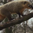Coati walks on tree trunk in slow motion — Stock Video