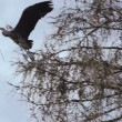 Stork has bough in its beak and flies between trees — Stock Video