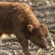 Bison calf in slow motion - Stock Photo