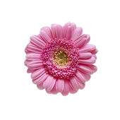 Beautiful Pink gerbera isolated on white background — Stock Photo