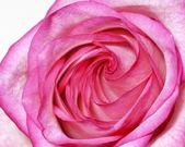 Närbild av färska vacker rosa ros blomma — Stockfoto