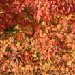 Stock Photo: Red orange leaves