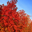 Stock Photo: Red orange trees