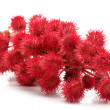 Castor-oil plant flowers - Stock Photo