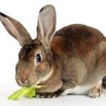 Bruin konijn — Stockfoto