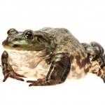 Bullfrog, — Stock Photo