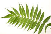 Green leaf with reflection in white — Stock Photo