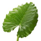 Zelený list — Stock fotografie